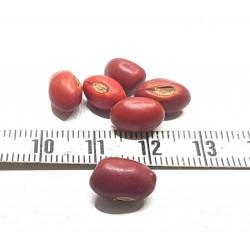 Immortelle petite rouge foncé